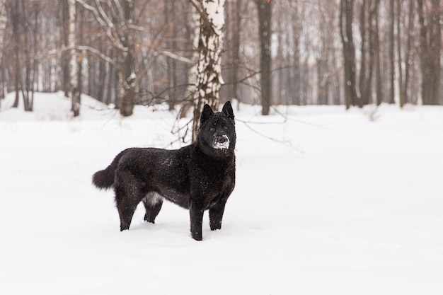 Bello cane nero che cammina sul campo nevoso nella foresta di inverno