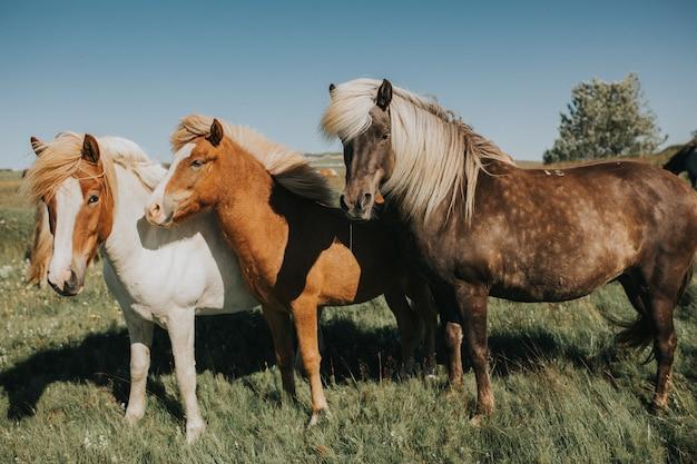 Bello cavallo islandese biondo, pony, colpo di profilo