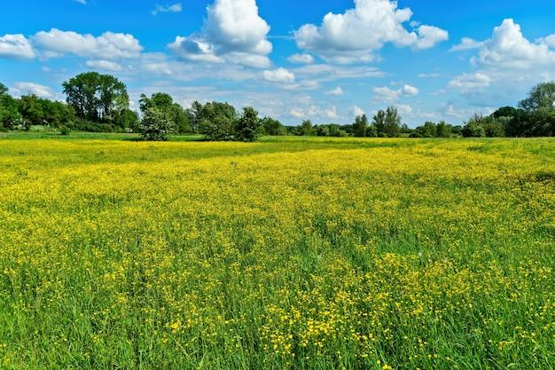 Bello colpo dei giacimenti di fiore gialli con gli alberi nella distanza sotto un cielo nuvoloso blu