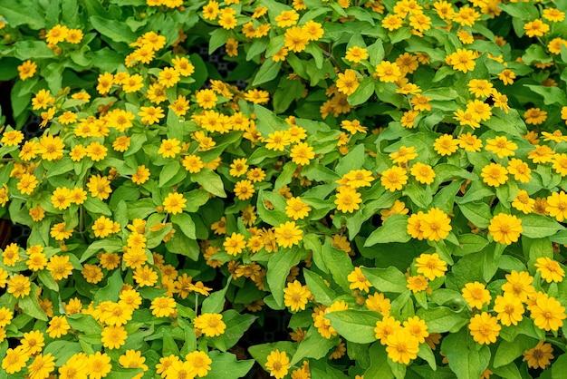 Bello colpo del primo piano di cespugli di fiori gialli - perfetto per lo sfondo
