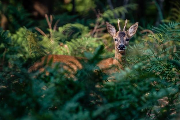 Bello colpo di un cervo sveglio nella foresta