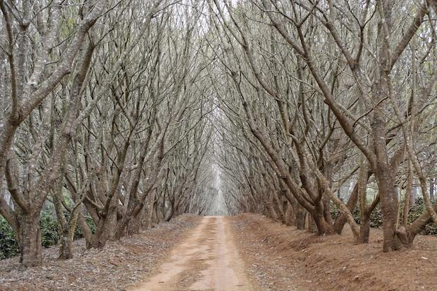 Bello colpo di un percorso nel mezzo di alberi ad alto fusto senza foglie