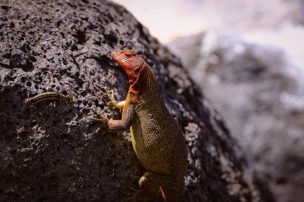 Bello colpo di una lucertola colorata e un bruco su una roccia