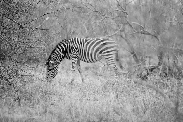 Bello colpo distante di una zebra selvaggia che pasce l'erba in hoedspruit, sudafrica