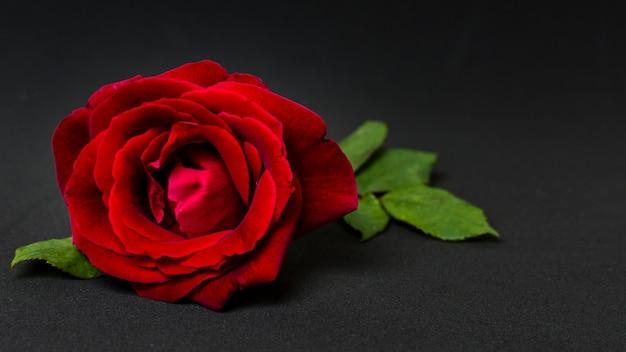 Bello concetto della rosa rossa del primo piano