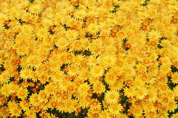 Bello crisantemo giallo, struttura della carta da parati dei fiori