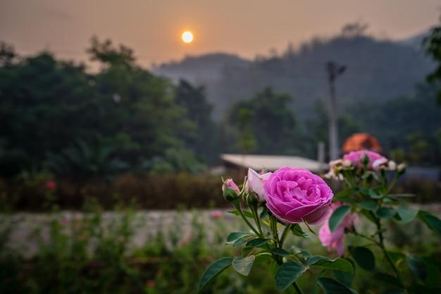 Bello è aumentato nel giardino con il fondo dell'alba e della montagna