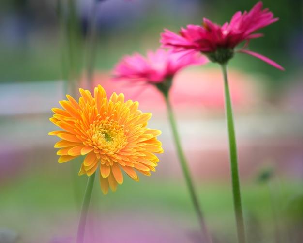 Bello fiore arancio, rosa e giallo della margherita della gerbera nel giardino per la molla