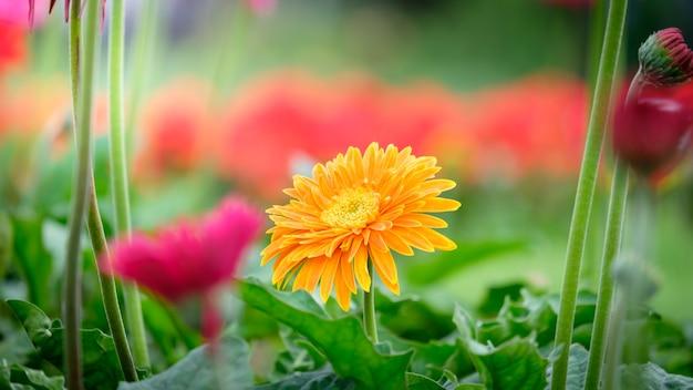 Bello fiore arancio, rosa e giallo della margherita della gerbera nel giardino