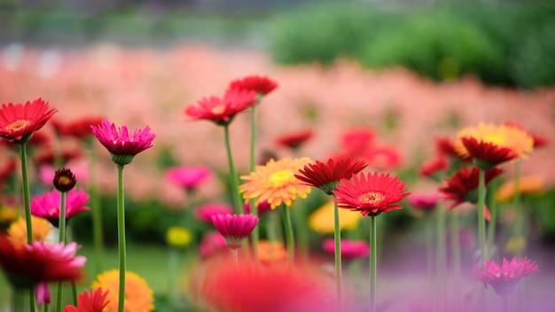 Bello fiore arancio, rosso e giallo della margherita della gerbera nel giardino.