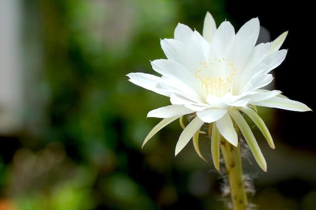 Bello fiore bianco dell'echinopsis del cactus che fiorisce il giorno del sole nel giardino