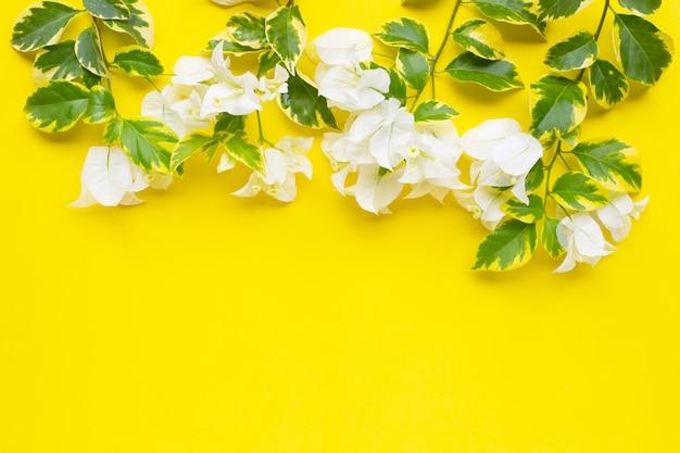 Bello fiore bianco della buganvillea con le foglie gialle verdi su giallo.