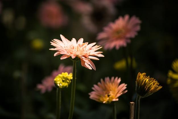 Bello fiore della gerbera che fiorisce nel giardino. decorazione floreale messa a fuoco selettiva