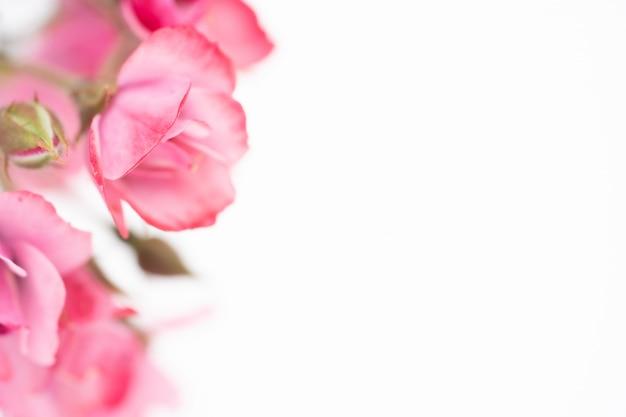 Bello fiore della rosa di rosa, fondo floreale