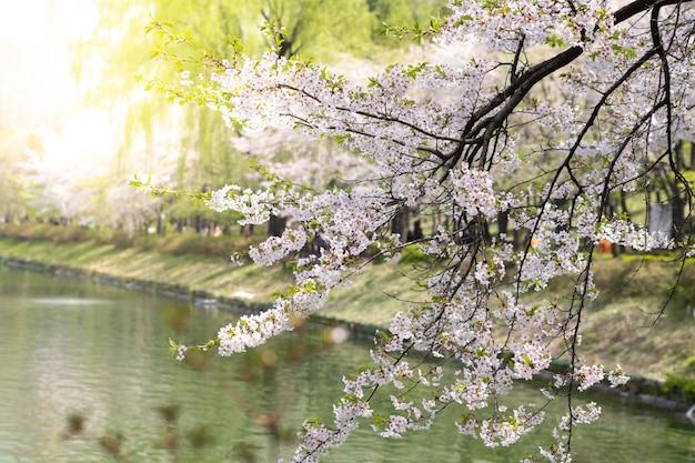 Bello fiore di ciliegia del primo piano o fiore di sakura sul fondo della natura.