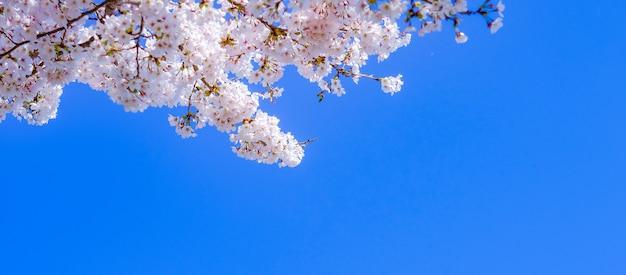 Bello fiore di ciliegia o albero rosa del fiore di sakura nella stagione primaverile
