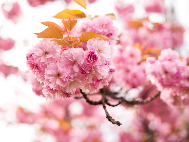 Bello fiore di ciliegia sakura nel tempo di primavera sulla natura