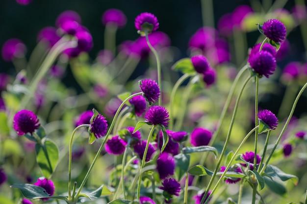 Bello fiore di gomphrena globosa del fuoco selettivo che fiorisce nella stagione primaverile.