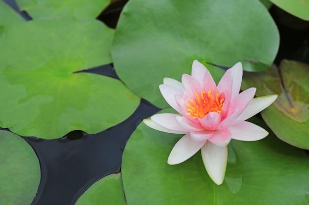 Bello fiore di loto bianco in stagno, giglio di acqua del primo piano e foglia in natura.