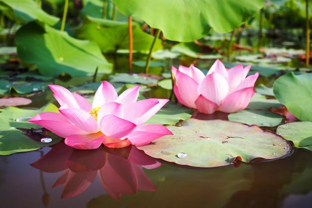 Bello fiore di loto dentellare in natura per backgroundv