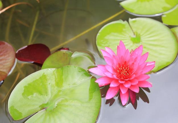 Bello fiore di loto dentellare in stagno, giglio di acqua del primo piano e foglia in natura.