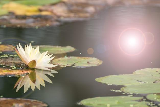 Bello fiore di loto in stagno, il simbolo del buddha, tailandia.