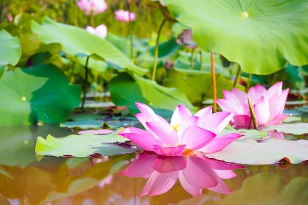 Bello fiore di loto rosa con le foglie verdi nel fondo della natura
