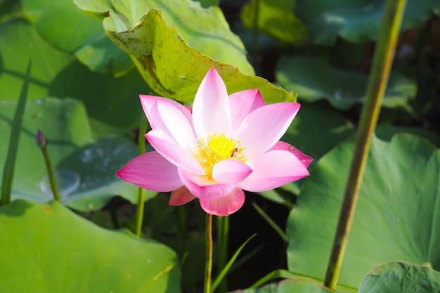 Bello fiore di loto rosa in natura con alba per fondo