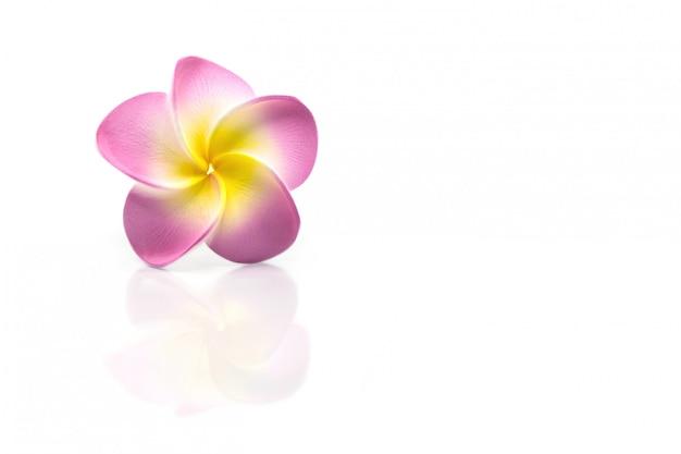 Bello fiore di plumeria con la riflessione isolata