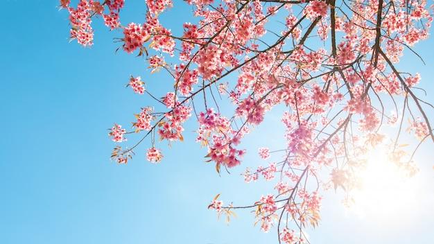 Bello fiore di sakura (fiore di ciliegia) in primavera. fiore dell'albero di sakura su cielo blu.