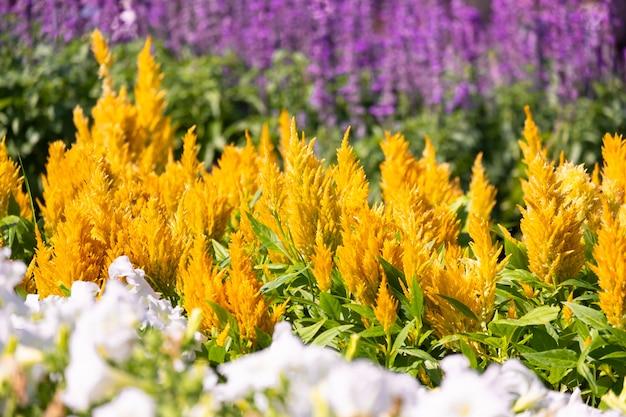 Bello fiore giallo della cresta di gallo del primo piano
