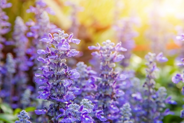 Bello fiore porpora con il fiore di vetro e fioritura gialla nel giardino quando il sole di mattina
