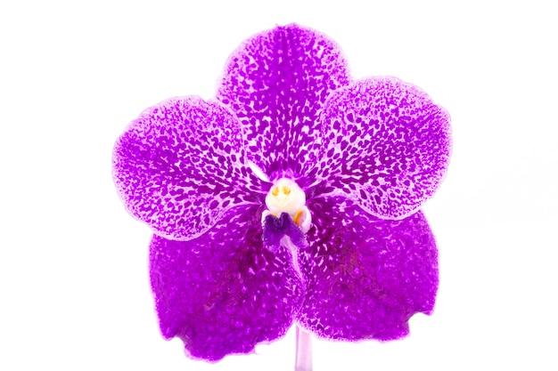 Bello fiore porpora dell'orchidea con goccia di acqua isolata su fondo bianco