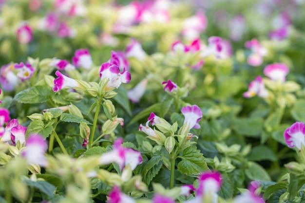 Bello fiore porpora e bianco del braccio trasversale del fuoco selettivo che fiorisce in un giardino con la luce di mattina.