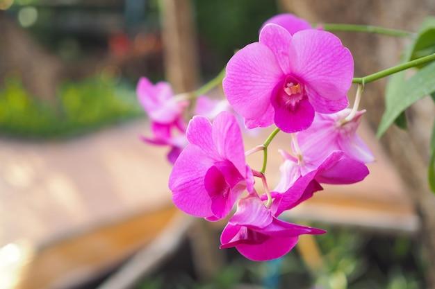 Bello fiore rosa dell'orchidea in giardino al giorno di inverno o di primavera con fondo vago