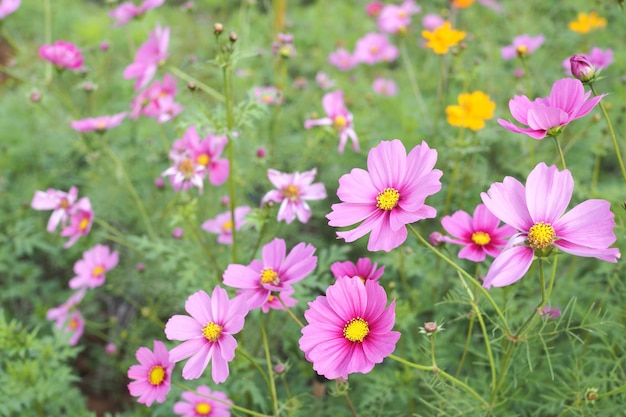 Bello fiore rosa dell'universo con le foglie verdi nel campo
