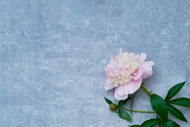 Bello fiore rosa della peonia su fondo grigio. copia spazio, vista dall'alto.