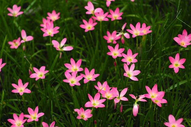 Bello fiore rosa di zephyranthes grandiflora