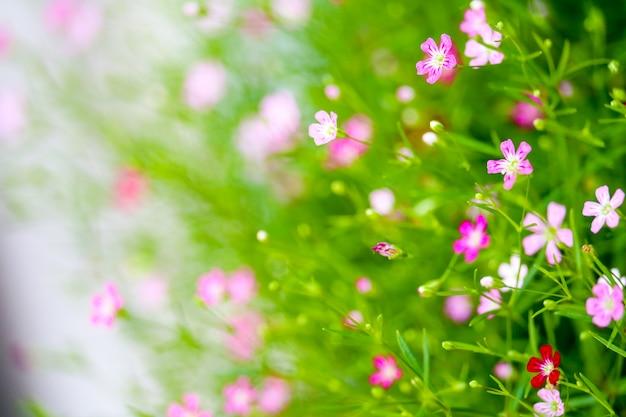 Bello fiore rosa variopinto del bouqitue della gypsophila in giardino