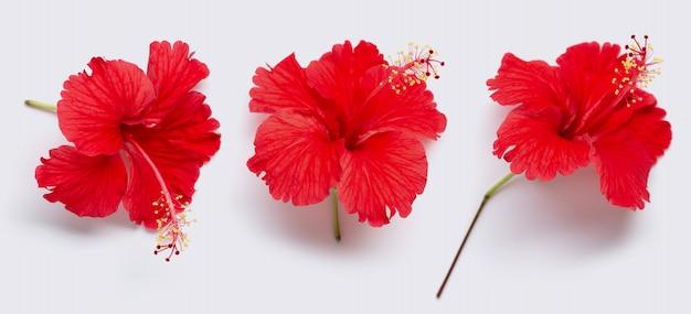 Bello fiore rosso dell'ibisco in piena fioritura