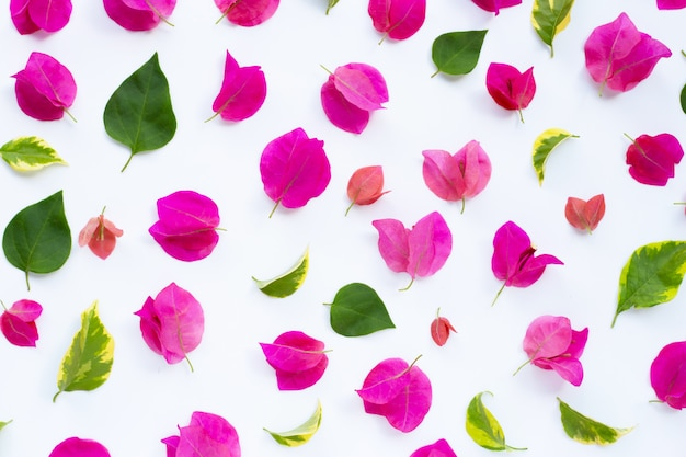 Bello fiore rosso della buganvillea con le foglie su bianco