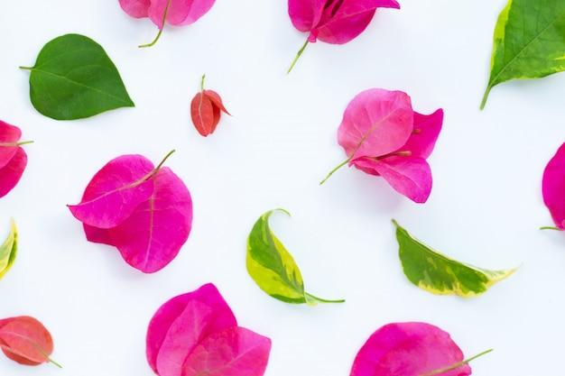 Bello fiore rosso della buganvillea su bianco. vista dall'alto