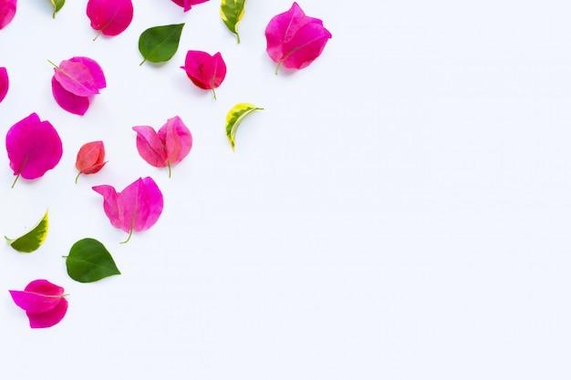 Bello fiore rosso della buganvillea su bianco