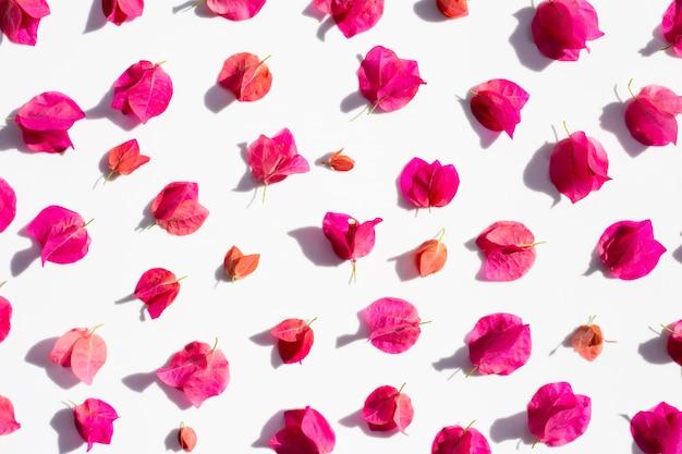 Bello fiore rosso della buganvillea su fondo bianco.