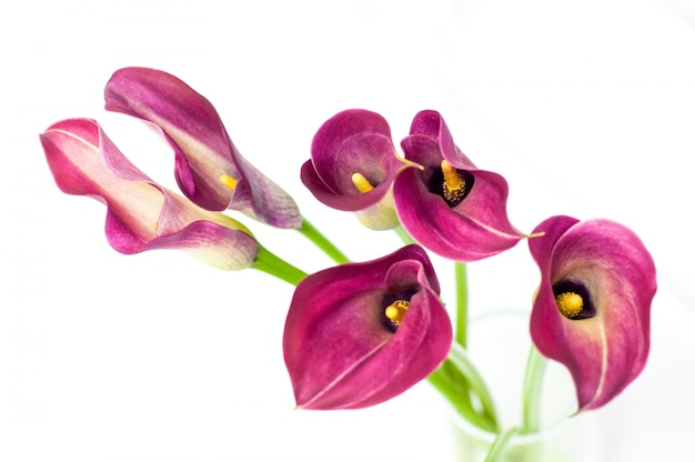 Bello fiore rosso della calla isolato