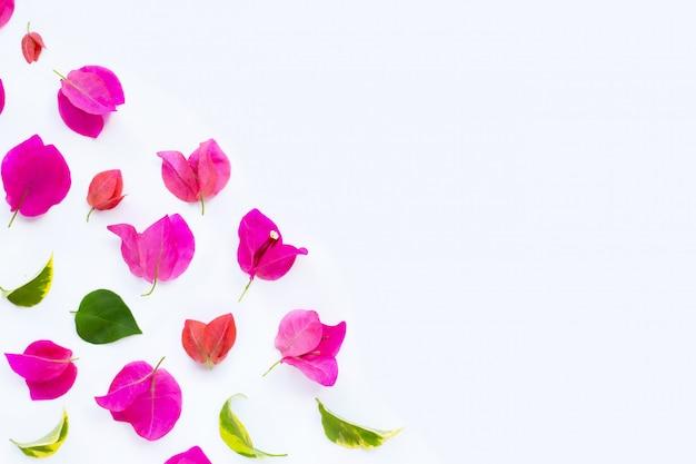 Bello fiore rosso e rosso della buganvillea su fondo bianco.