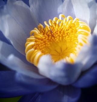 Bello fiore viola della ninfea (fiore di loto), formato quadrato.