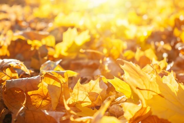 Bello fondo giallo ed arancio di foglie di acero di caduta di autunno