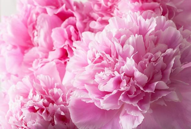 Bello fondo rosa del fiore della peonia