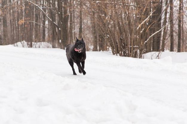 Bello funzionamento del cane nero sul campo nevoso nella foresta di inverno